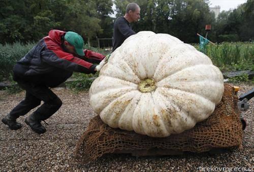 рекордно тешка тиква од 430  кг се носи во музеј во Москва