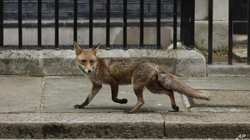 лисица шета на даунинг стрит во лондон