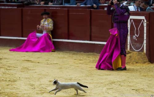 по грешка, наместо бик мачка влета на корида Шпанија, тореадорот се фаќа за глава