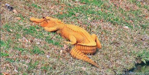 портокалов алигатор, можеби јадел многу моркови