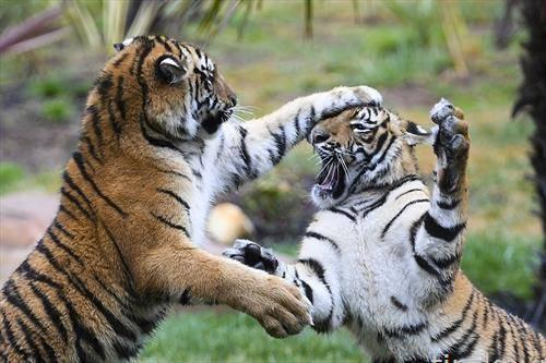 детски игри на млади тигри во зоо во Варшава