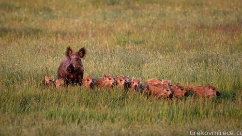 фамилија диви свињи во Германија