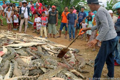 труповите на стотици крокодили откако беа убиени од разгневената толпа во знак на одмазда за смртта на  човек кој беше убиен во напад на крокодил во Индонезија