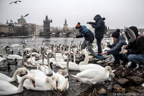 Туристи хранат Лебеди и патки на брегот на В'лтава  на првиот снег во Прага