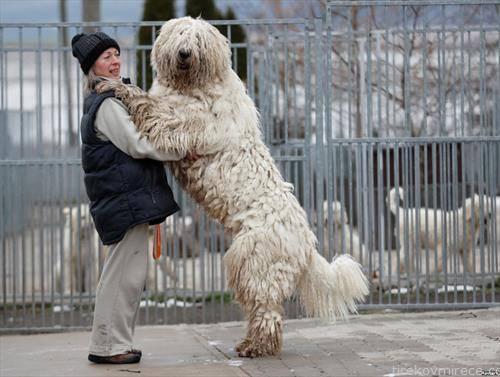 кучето поголемо од сопственичката, во Унгарија