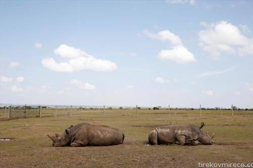 мајка и ќерка  последните два северни бели носорози жени, лежат во  Националниот парк во Кенија