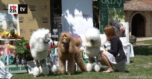 изложба на кучиња во Зрењанин
