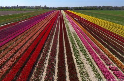 полиња со лале во Германија