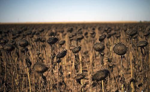Исушени сончогледи фотографирани во поле крај селото Камен Браг во Бугарија