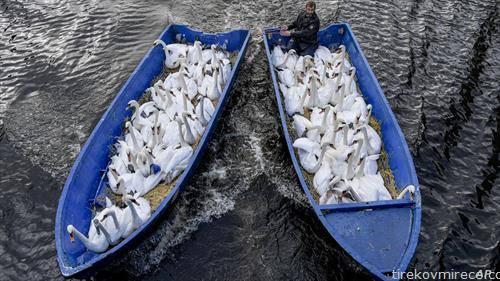 лебеди се селат со чамец од езеро во центарот на Хамбург, во нивното зимско живеалиште