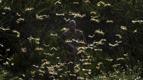 со пушка против наездата на скакулци во Кенија