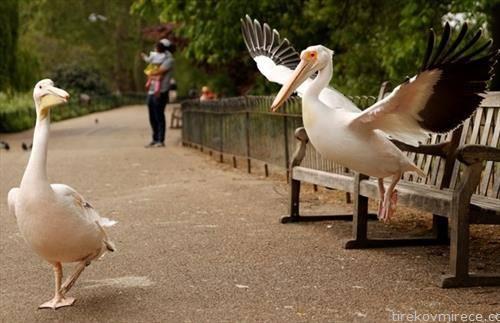 пеликани во парк во лондон