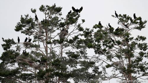 корморани на дрво во Белорусија
