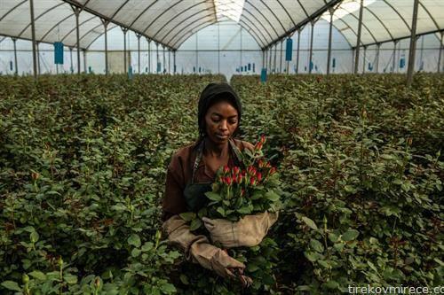 Кенија е водечки снабдувач на рози во Европската унија