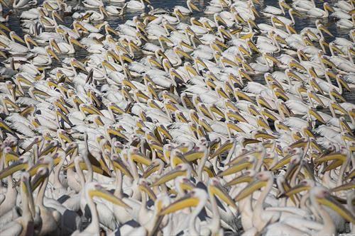 Илјадници бели пеликани се хранат со риба во водниот резерват во емек Хефер, Израел.