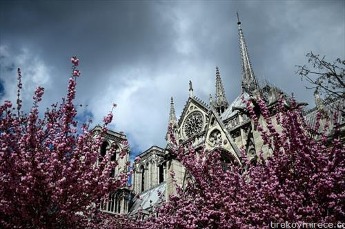 расцветани јапонски цреши во Париз
