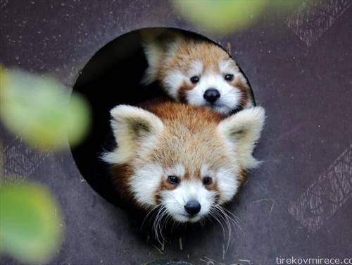 дудек и регица, според една стара хрватска  тв серија, добија имиња овие две мали црвени панди родени во зоолошка во загреб