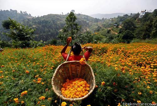 се бере невен во Непал