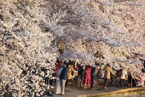 улица на јапонски цреши, расцветена во Вашингтон
