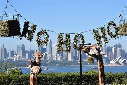 жирафите уживаат во убавото време во Сиднеј