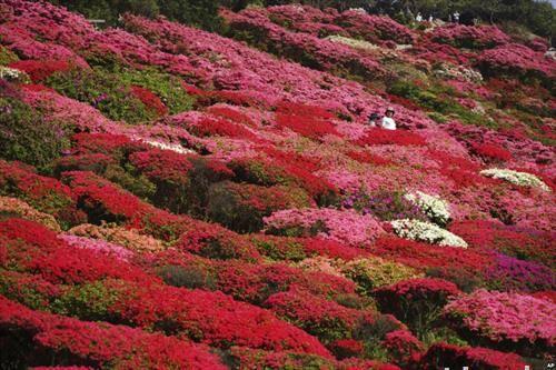 расцветна азалеја во парк во Токио