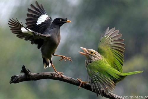 борба на птици во Индија