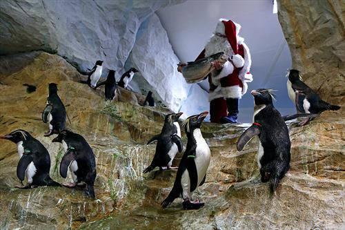 Дедо Мраз стаса  пред Кралски пингвини во ЗОО , во Антибе, јужна Франција