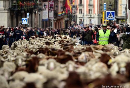 две илјади овци по улиците на Мадрид, во чест на миграцијата на овците