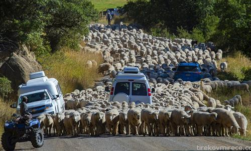 големата преселба на овците во Kоломбија САД