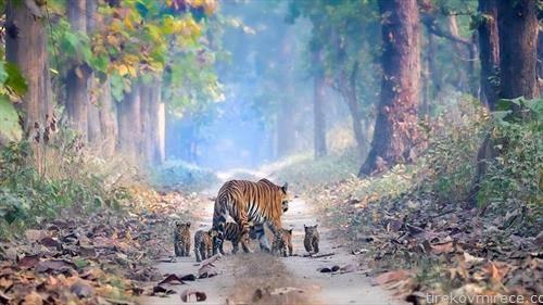 тигрица со пет мали тигриња на прошетка во шума во Индија