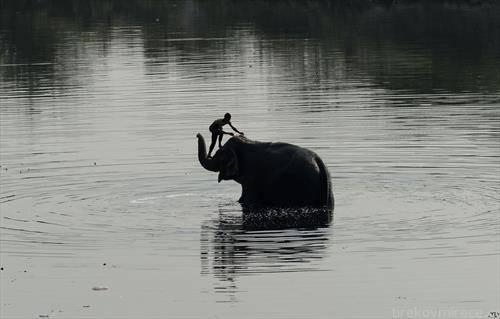 слон го бањаат во Њу Делхи