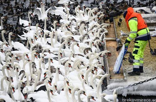 стотици лебеди и други птици се прехрануваат во Стоколм