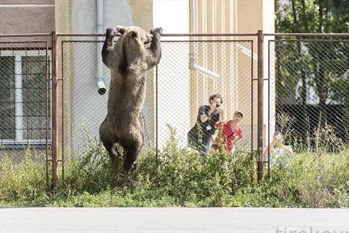 мечка игра во Романија