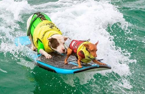 кучиња сурфаат на Флорида