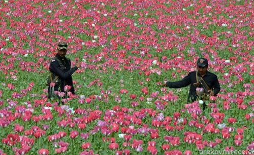 пакинистанска војска во полиња со афион
