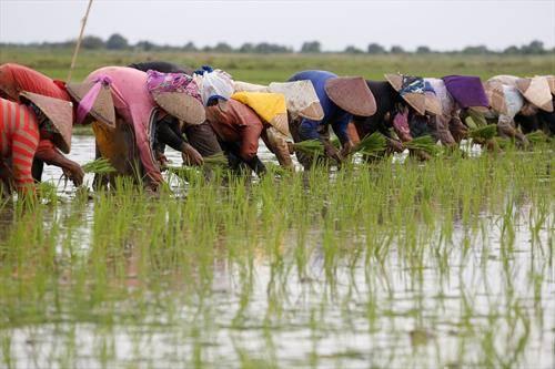 се сади ориз во Кина