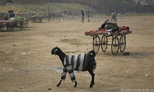 коза во предградие на Њу Делхи