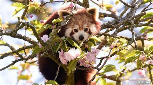 црвена панда на јапонска цреша во Лондон