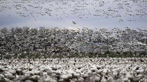 илјадници северно гуски во Вашингтон по миграција од арктикот