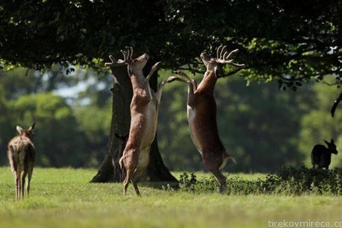 борба на елени, во Англија