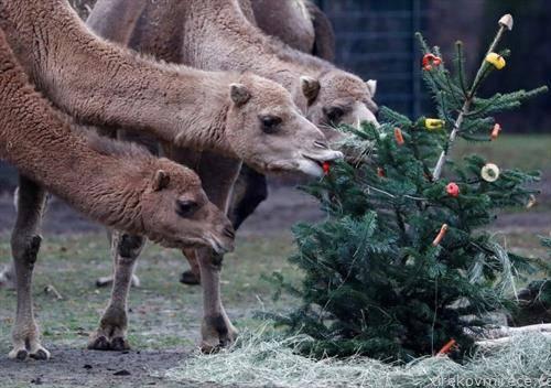 храна за камилите во зоо во Берлин, искористена елка