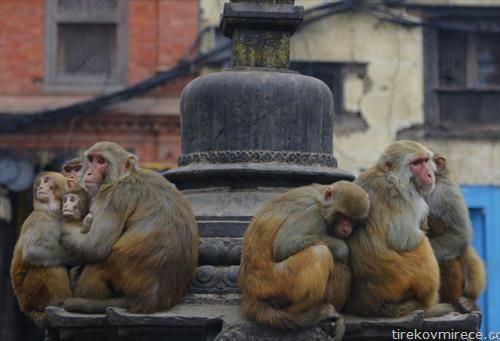 мајмуни се штитат семејно од студот во Непал