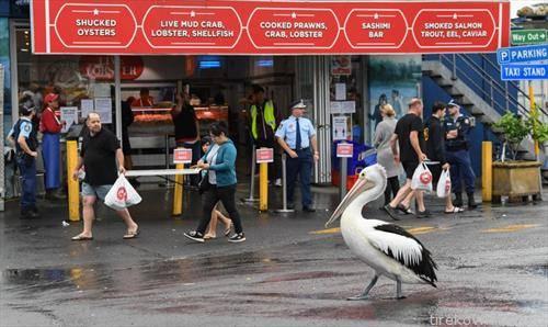 пеликан шета во сиднеј