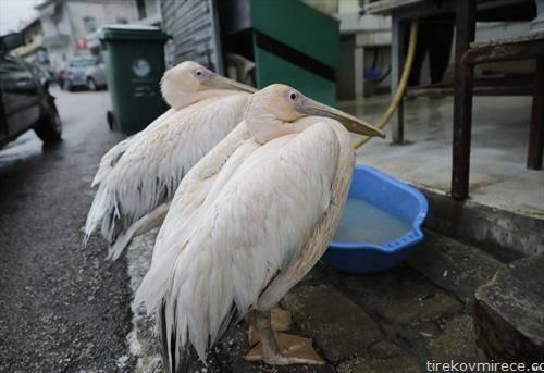 пеликани чекаат  храна во Бејрут