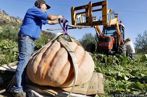 тиква од 300 кг се собира од поле во Шпанија