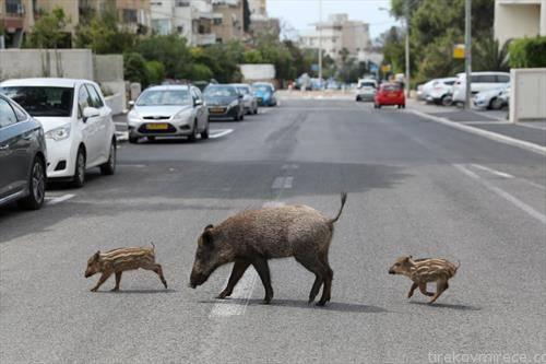 семејство диви свињи на прошетка во Хаифа Израел