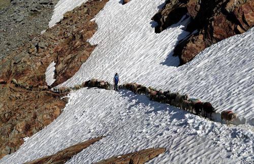 во патека по еден стадо овци се симнуваат од планините на Тирол