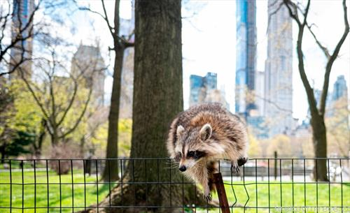 ракун во Њујорк