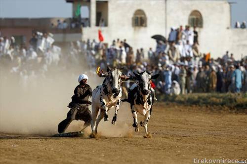 трка на биволи во Исламабад