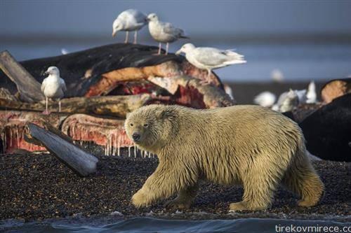 поларна мечка и галеби на Алјаска